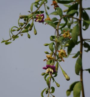 Blüten und werdende Beeren