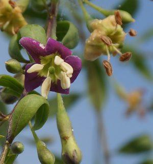 Die Blüten sind klein und violet